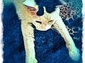 white and gray cat digital pet portrait by Artist BZTAT