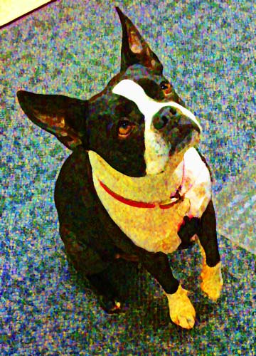 Boston Terrier Custom Digital Fine Art Pet Portrait by Animal Artist BZTAT
