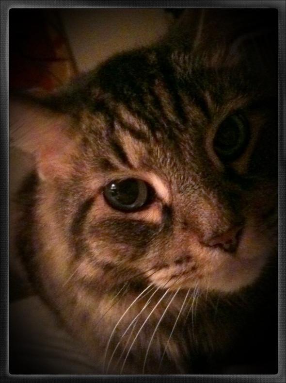 Maine Coon cat photo BZTAT