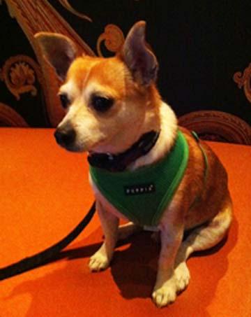 Chihuahua mix dog named Toby