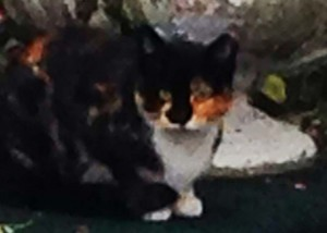 Patches calico feral cat -TNR