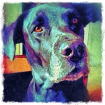 Black Labrador Retriever Digital Art Pet Portrait by Artist BZTAT
