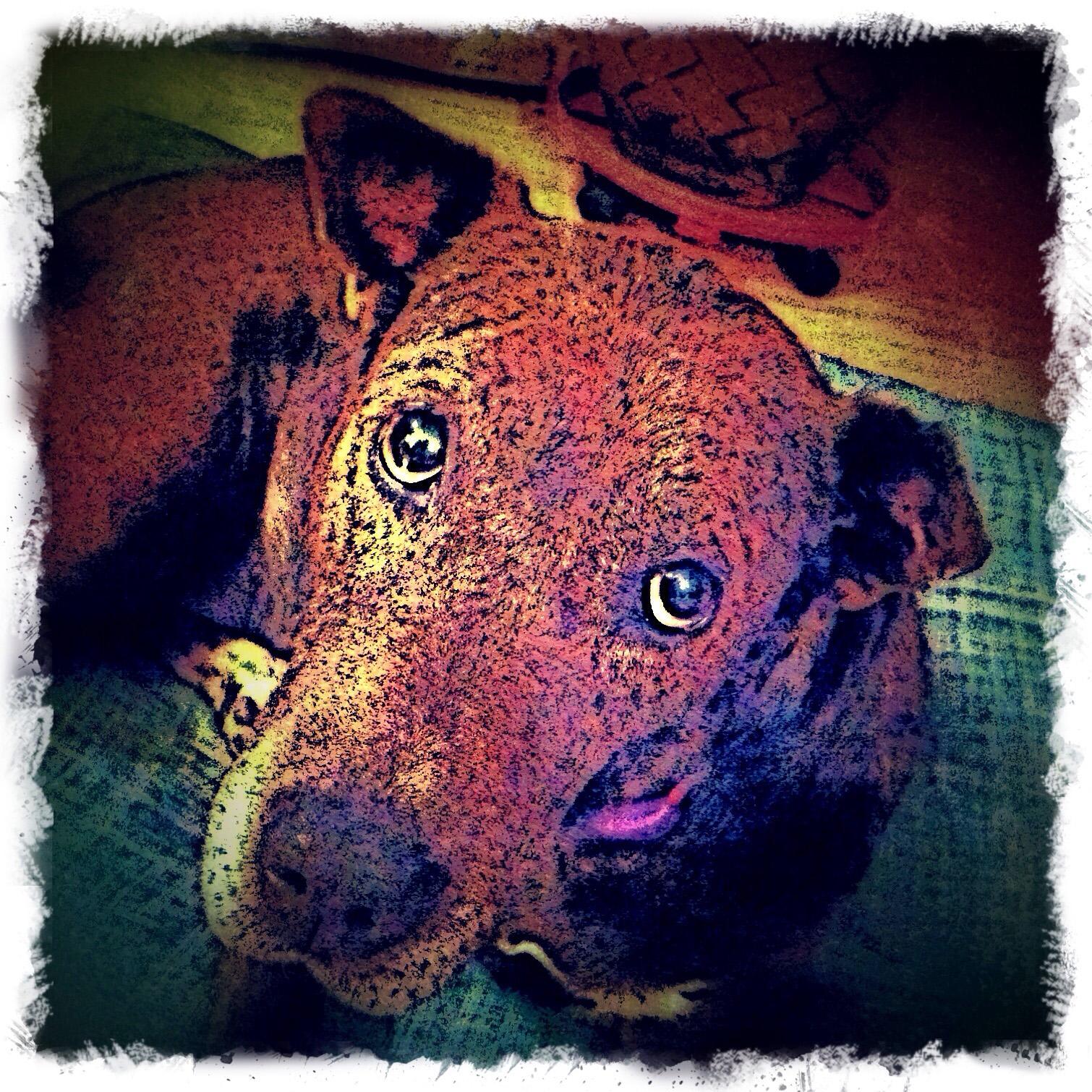 Pit Bull Mix Dog - Custom Digital Fine Art Pet Portrait by Animal Artist BZTAT
