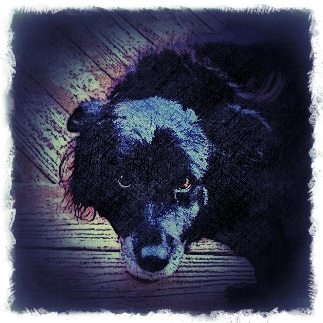 Border Collie Dog - Custom Digital Fine Art Pet Portrait by Animal Artist BZTAT