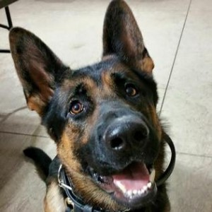 Jethro, a canine police officer who was shot in the line of duty